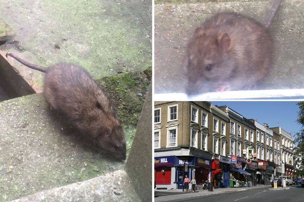 Belsize-Park-rat-main