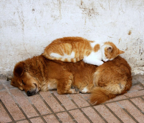 cute-cats-sleeping-on-dogs-26__605