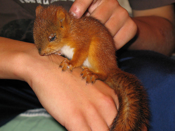 adopted-wild-red-squirrel-baby-arttu-finland-2