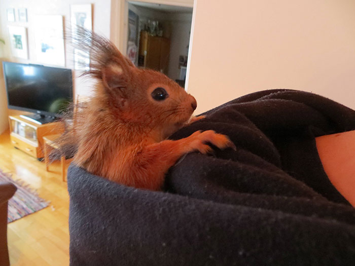 adopted-wild-red-squirrel-baby-arttu-finland-20