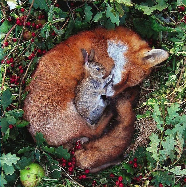 unlikely-sleeping-buddies-animal-friendship-391__605