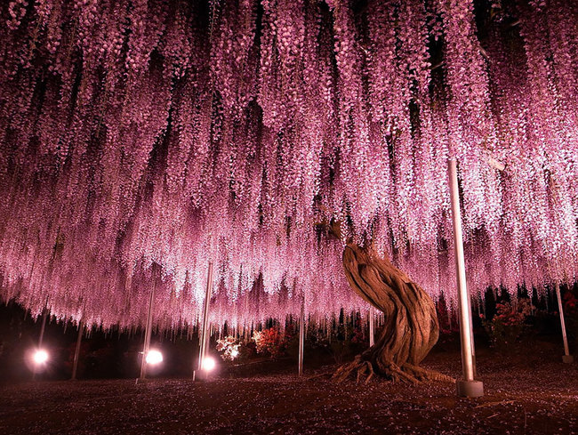 144-Year-Old Japanese Pink Wisteria Tree