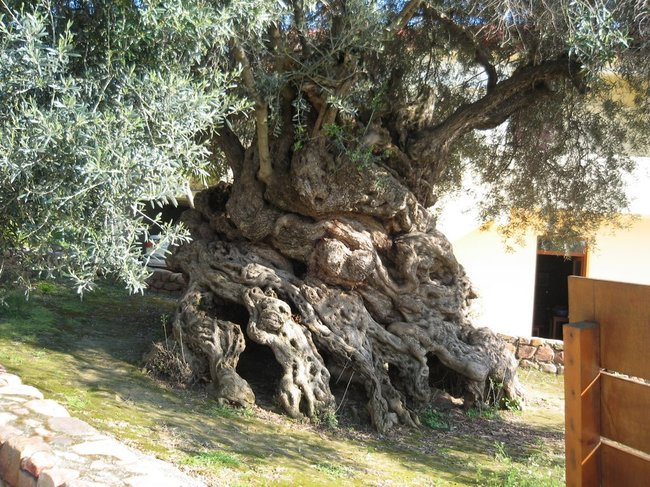 Considered to be one of the oldest living olive trees, Crete, Greece's 'Tree of Vouves