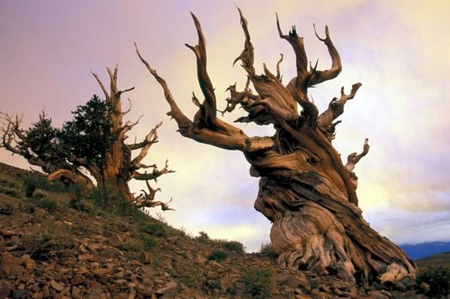Methuselah Tree is 4,843 years old