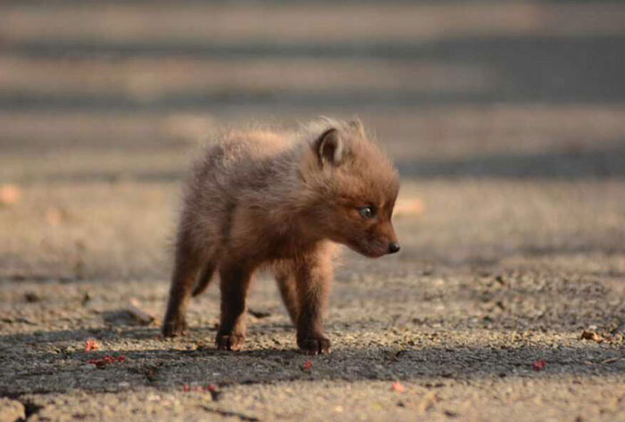 baby-fox-photos-found-in-backyard-1