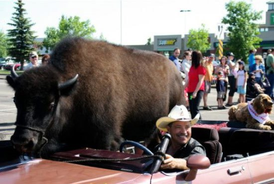 buffalo-in-car