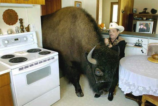 buffalo-in-kitchen-2