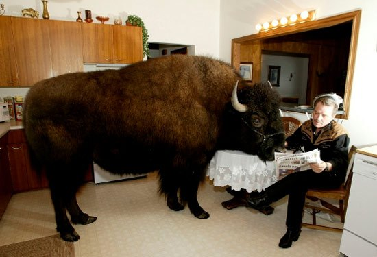 buffalo-in-kitchen