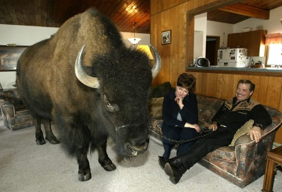 buffalo-inside-home