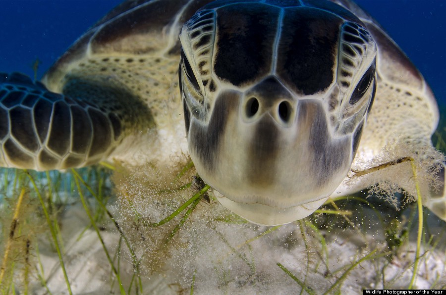 green turtle portrait feeding on sea grass in Cancun waters, Caribbean sea Mexico