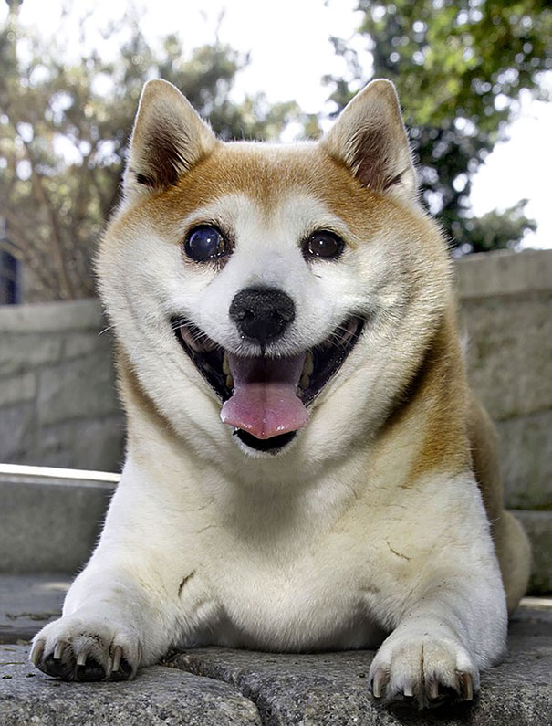 happiest-smiling-dog-shiba-inu-cinnamon-2