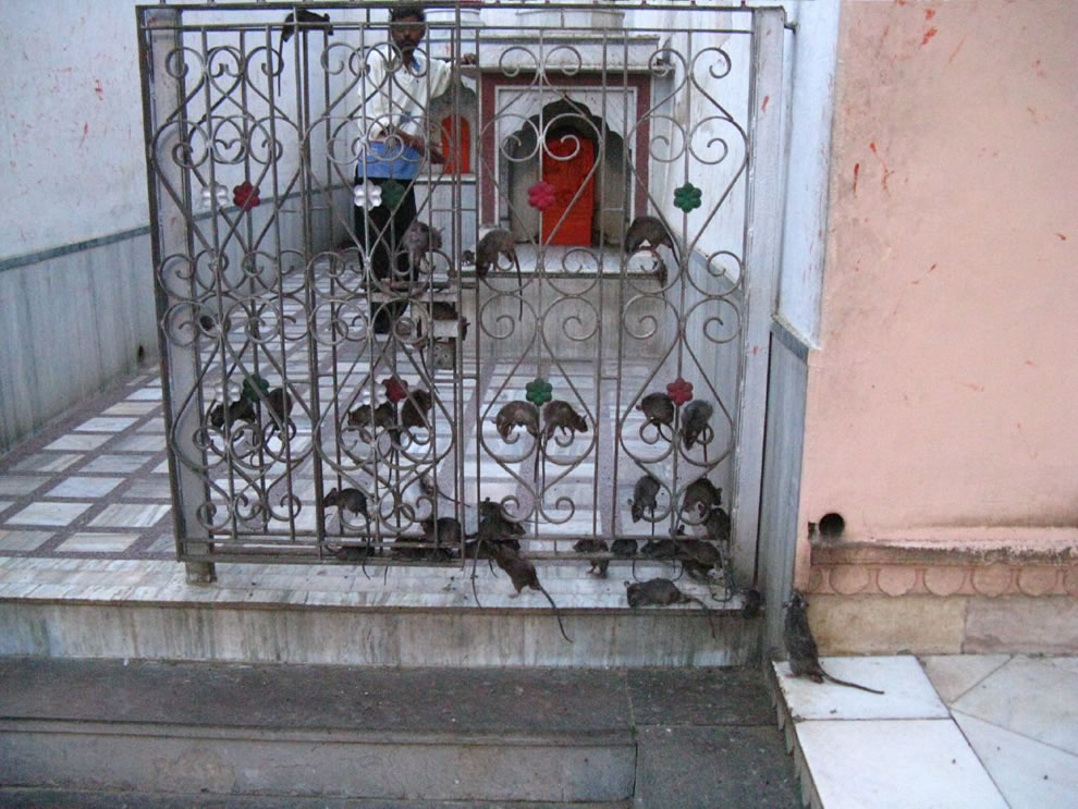 Gates-crawling-with-rats-at-rat-temple-Karni-Mata