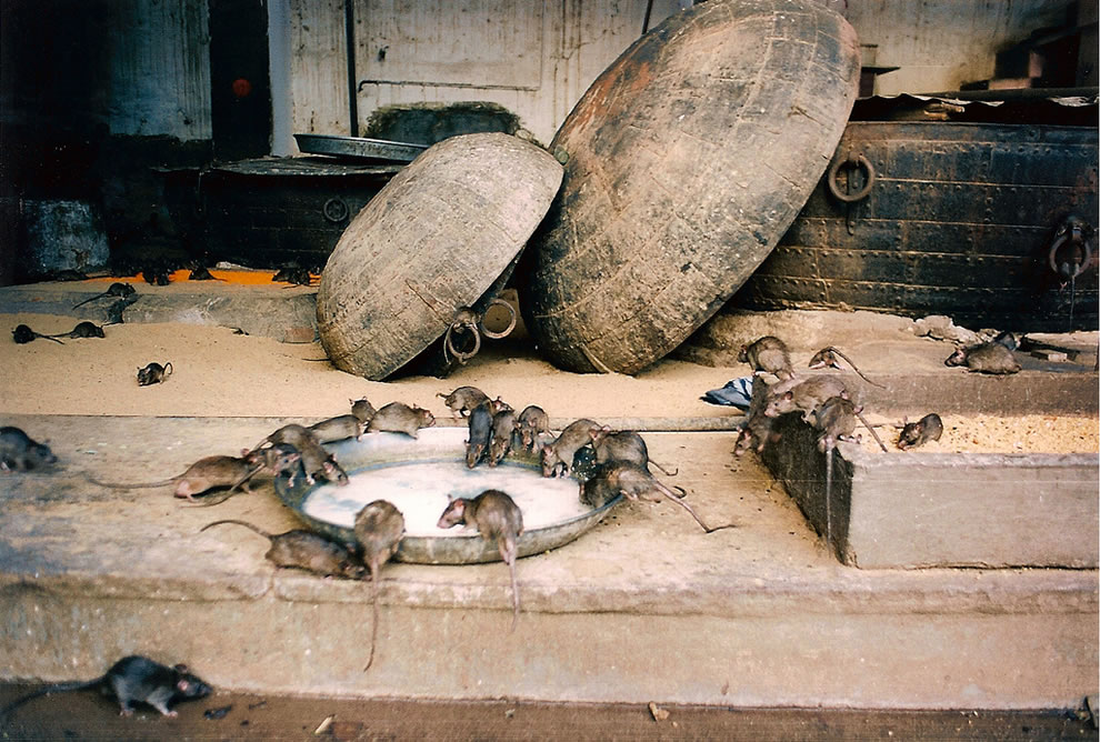rat-temple-bikaner