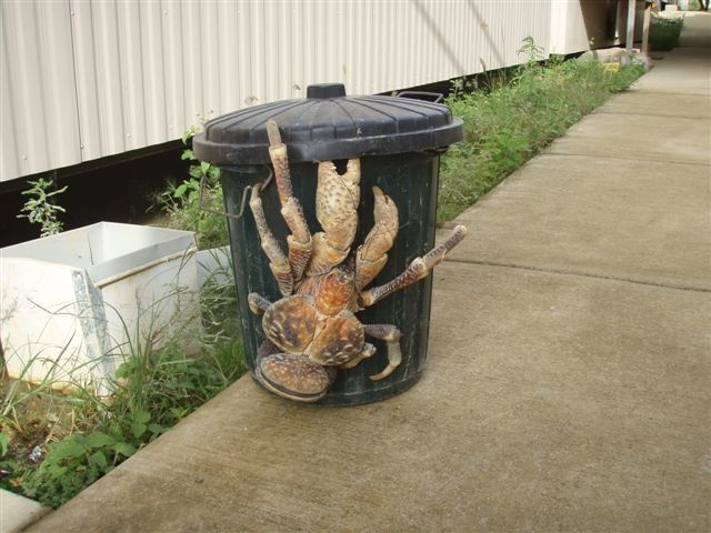 1. These enormous coconut crabs are a common sight in tropical climates.