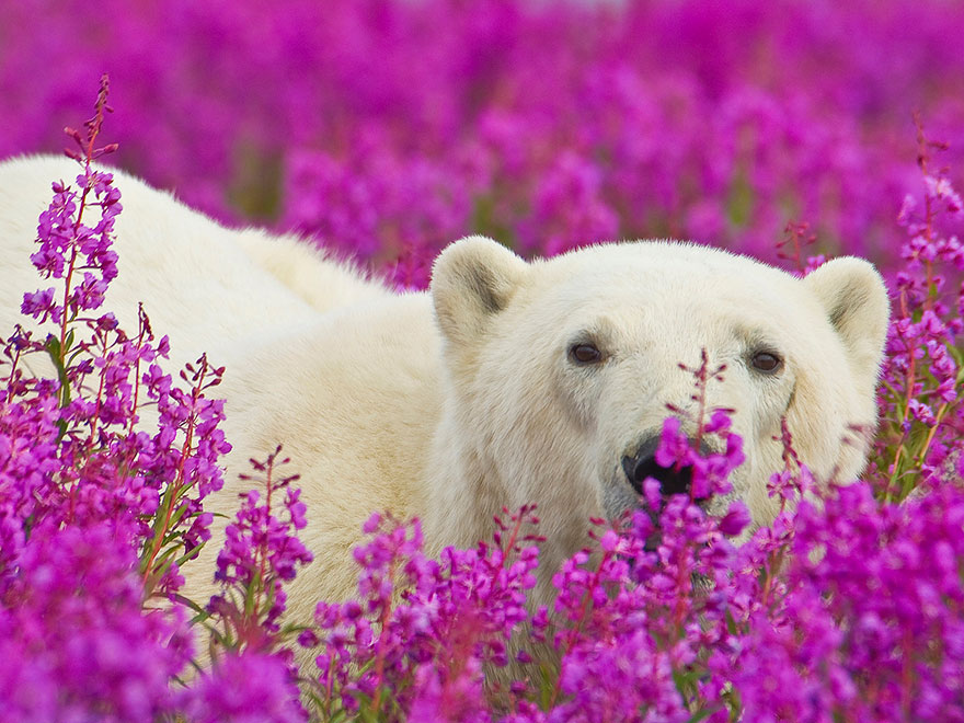 polar-bear-playing-flower-field-dennis-fast-16