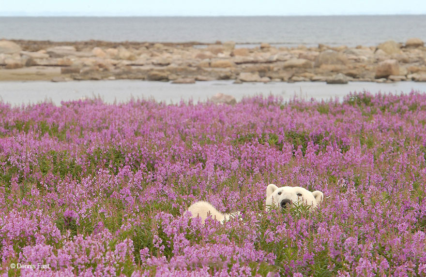 polar-bear-playing-flower-field-dennis-fast-9