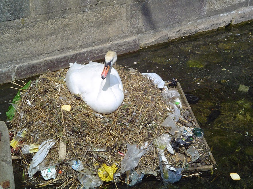 You-Will-Want-To-Recycle-Everything-After-Seeing-These-Photos-A-Mute-Swan-Builds-A-Nest-Using-Plastic-Garbage