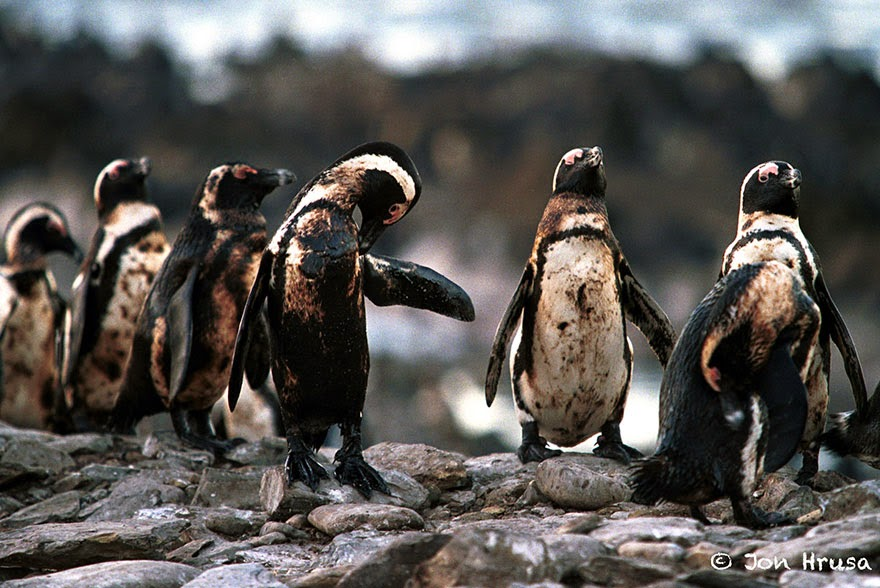 You-Will-Want-To-Recycle-Everything-After-Seeing-These-Photos-Oiled-Penguins