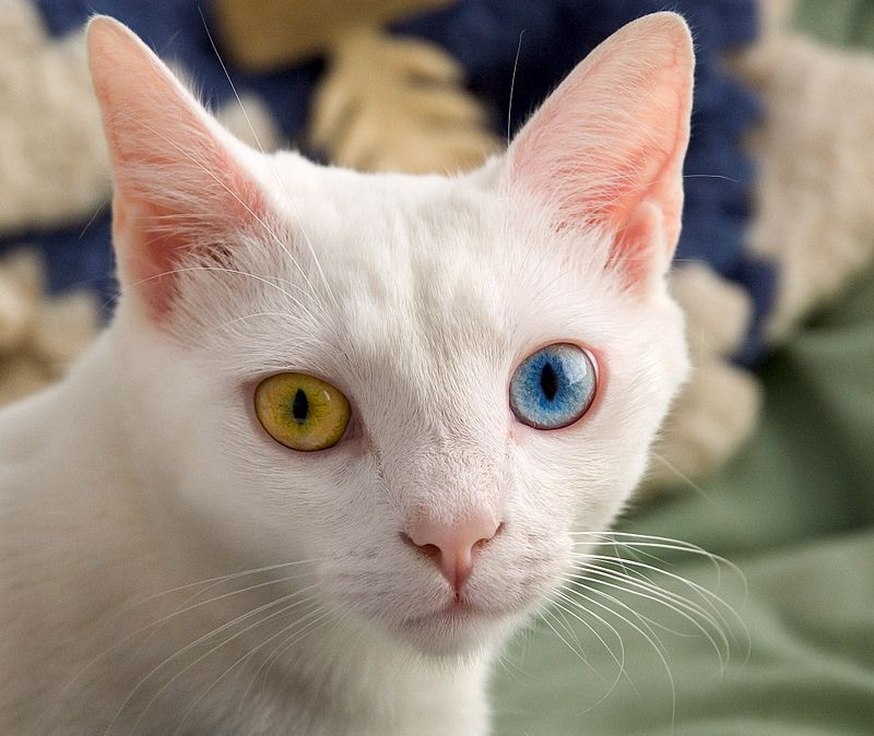 800px-June_odd-eyed-cat_cropped