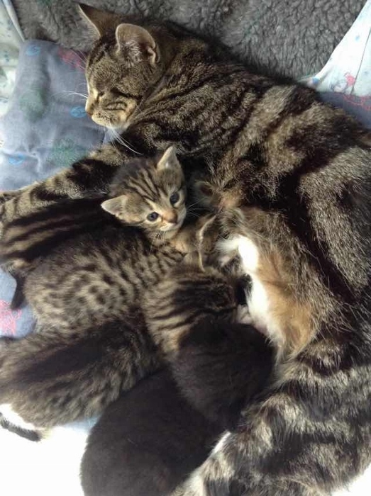 tabby-mom-and-kittens