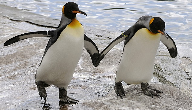 MALE PENGUINS AT EDINBURGH ZOO HAVE BEEN HITTING ON EACH OTHER AS A RESULT OF A SHORTAGE OF FEMALES AT THE WORLD FAMOUS ZOO