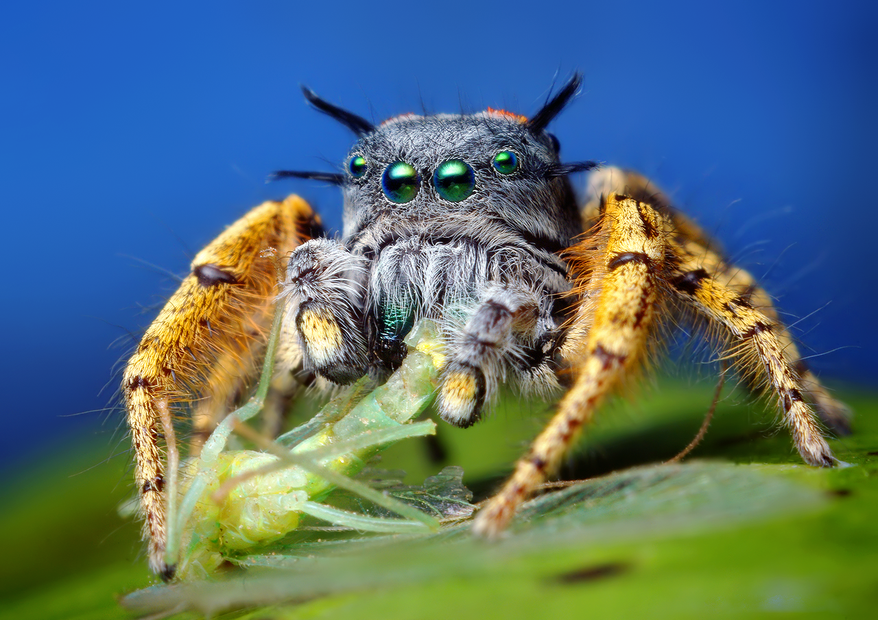Adult_Male_Phidippus_mystaceus_feeding_on_a_Chrysopid