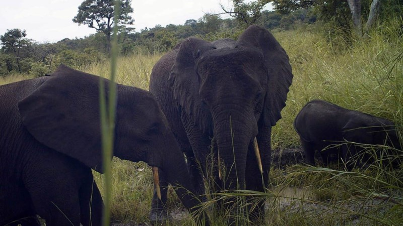 Forest_elephant_family_South_Sudan_2015-12-11