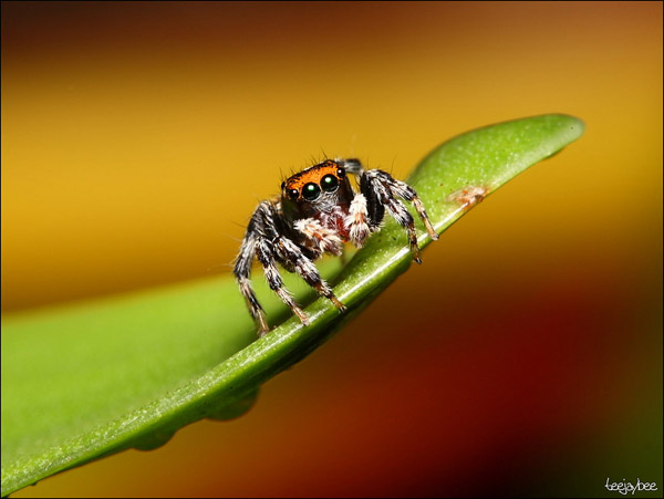 a.aaa-Jumping-spider-its-cool