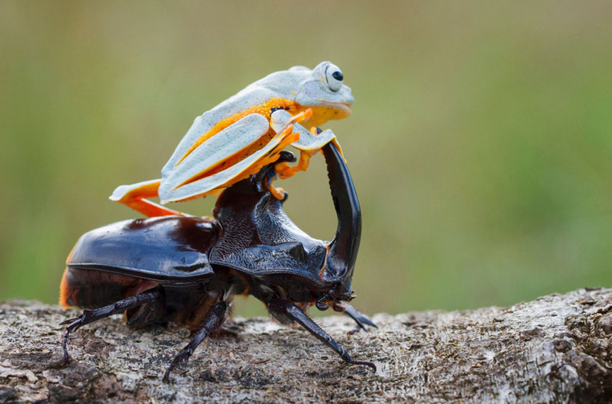 frog-riding-beetle-hendy-mp-7