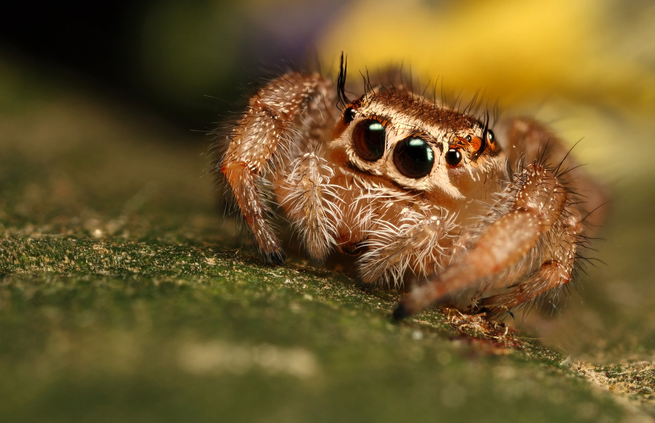 jumping_spider_10_by_macrojunkie