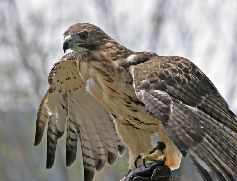 red-tailed-hawk-facts12