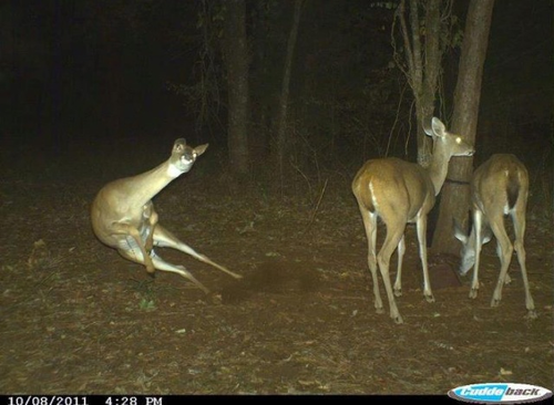 04-trail-cam-animals-funny-when-humans-arent-around