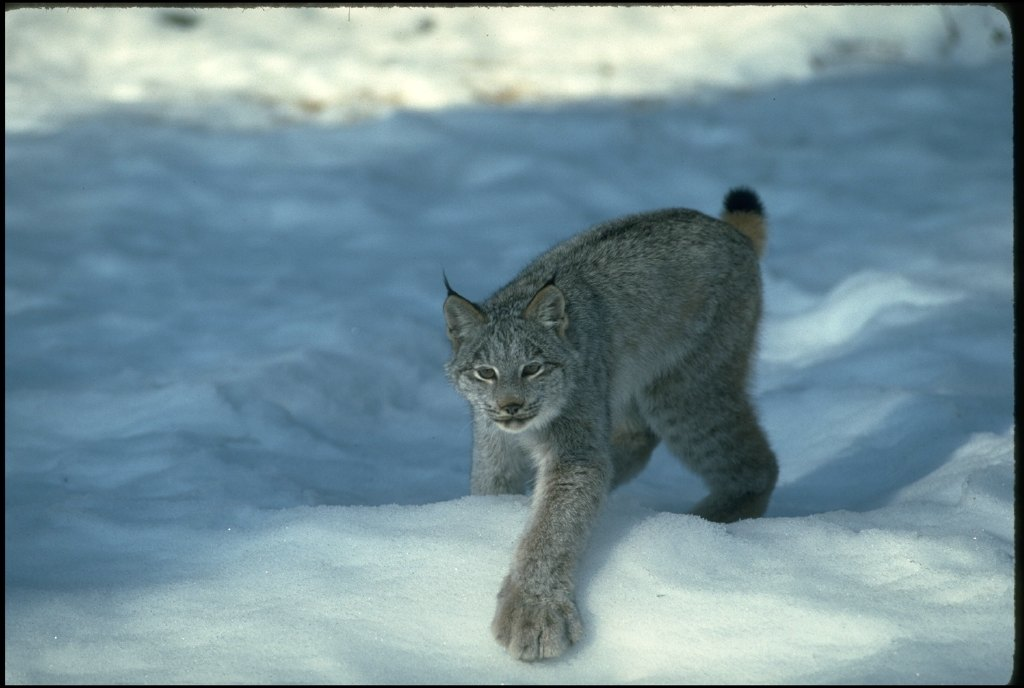 07-canadian-lynx-paws-cute