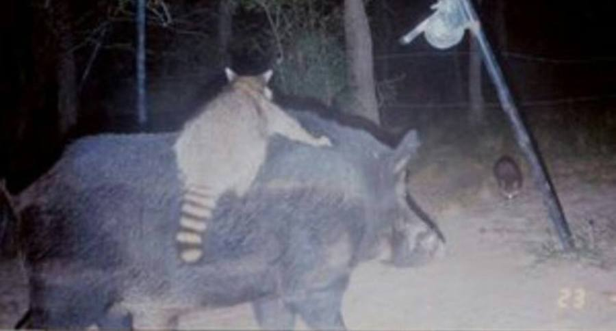 14-trail-cam-animals-funny-when-humans-arent-around