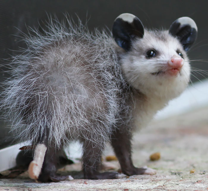 cute-possums-10__700