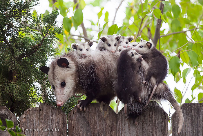 cute-possums-18__700