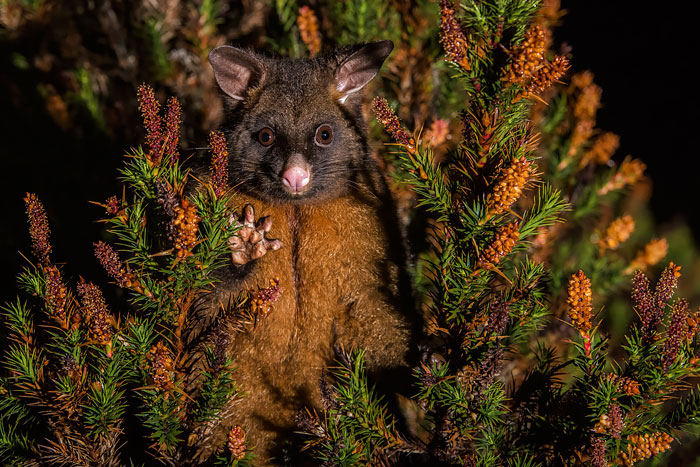 cute-possums-191__700