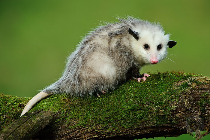 cute-possums-20__700
