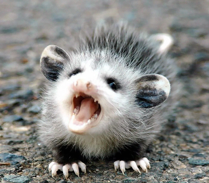 cute-possums-211__700