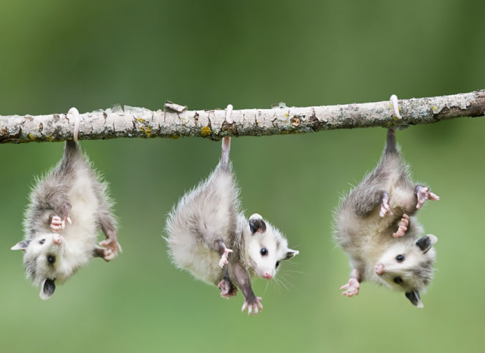 cute-possums-221__700
