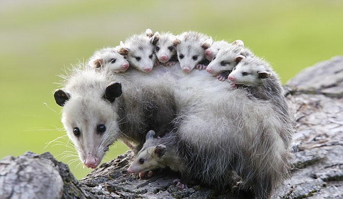 cute-possums-251__700