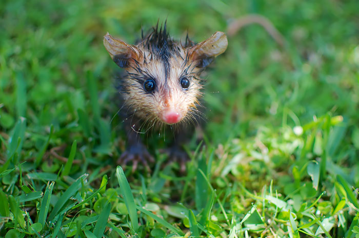 cute-possums-261__700