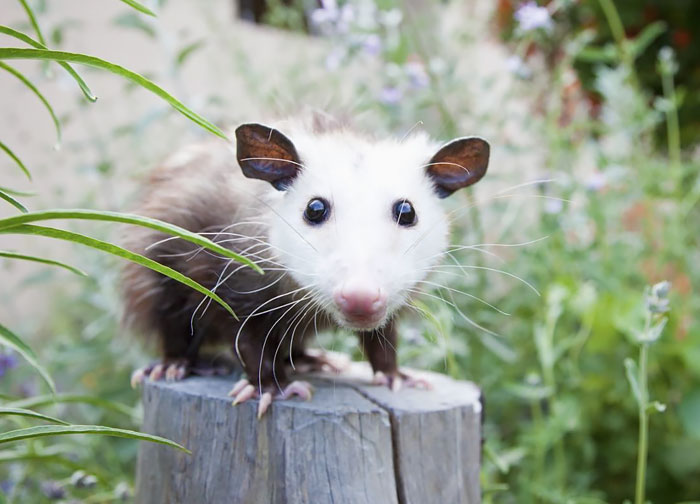 cute-possums-291__700