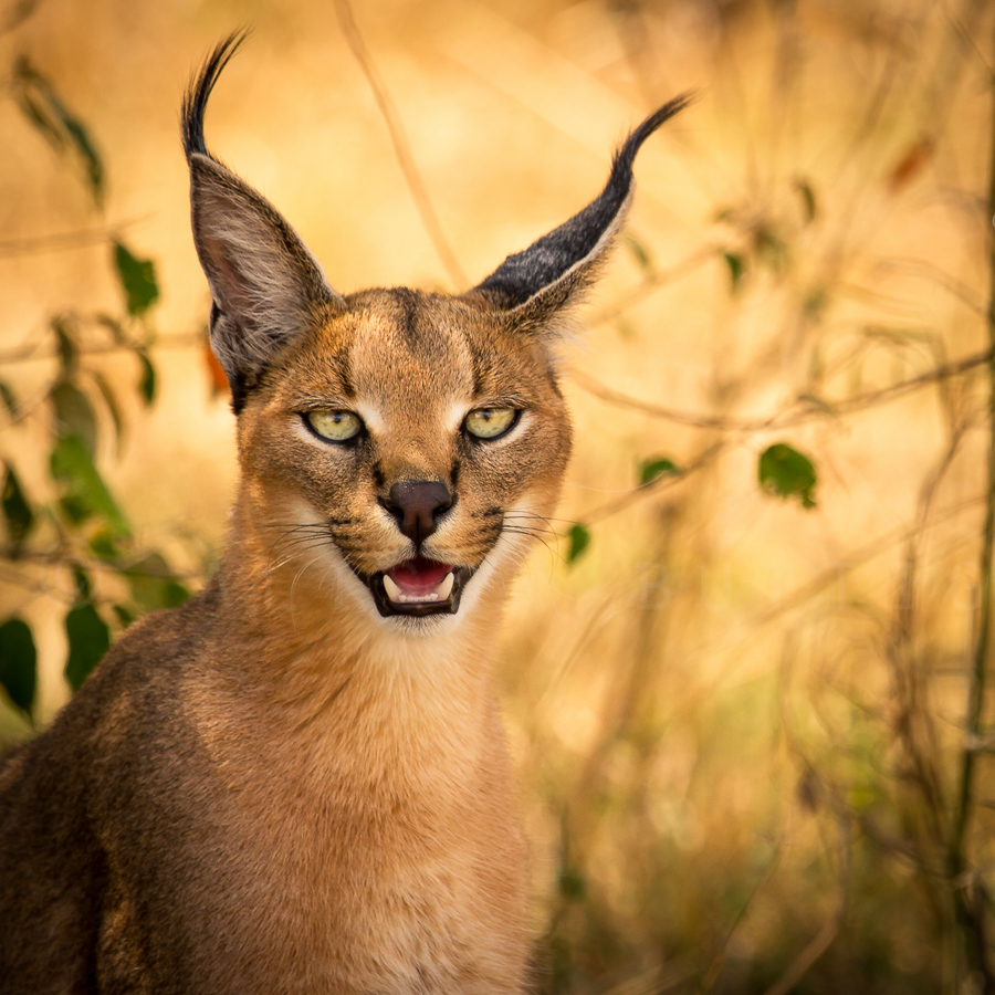 11-go-home-caracal-ur-drunk