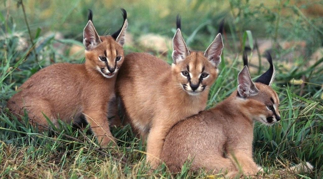 4-caracal-in-the-wild