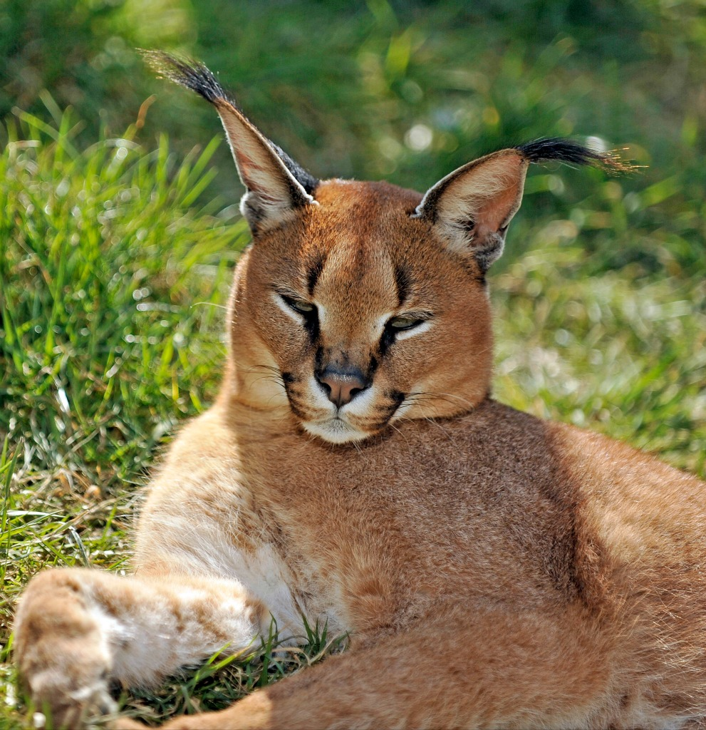 8-caracal-is-sleepy-tho
