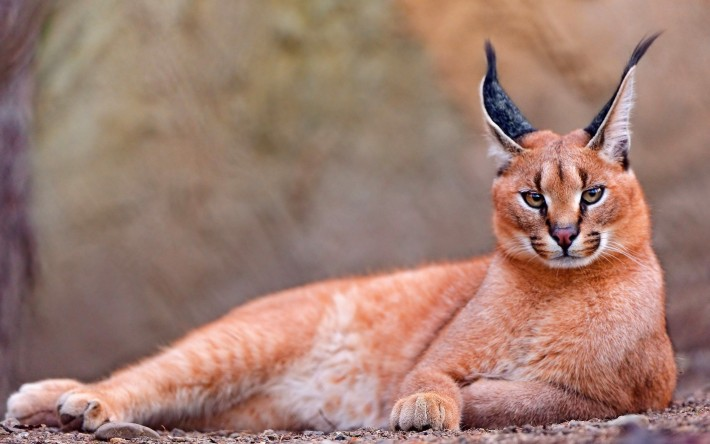 9-this-caracal-is-probably-stupid-710x444