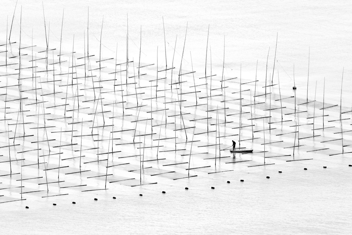 A fisherman is farming the sea in between the bamboo rods constructed for aquaculture off the coast in southern China.