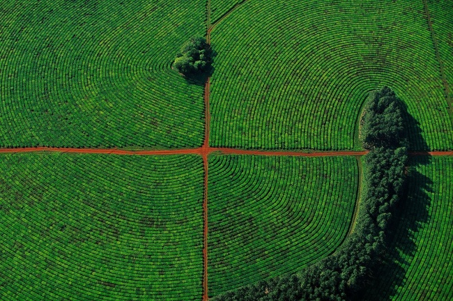 Tea plantations in the province of Corrientes, Argentina. Photographer-Yann Arthus-Bertrand.