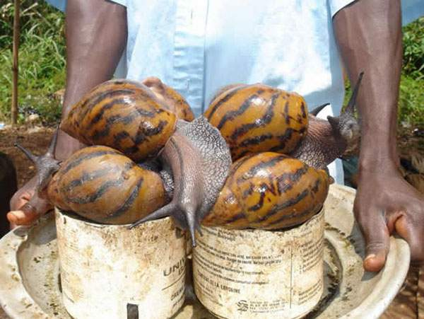 african-giant-snail